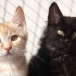 The Maine Coon Behavior Guide - What To Expect