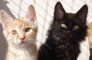 The Maine Coon Behavior Guide – What To Expect
