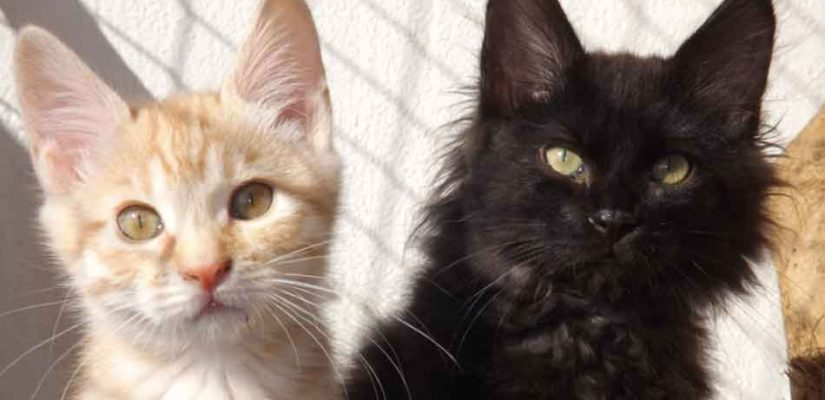 2 maine coon kittens close up