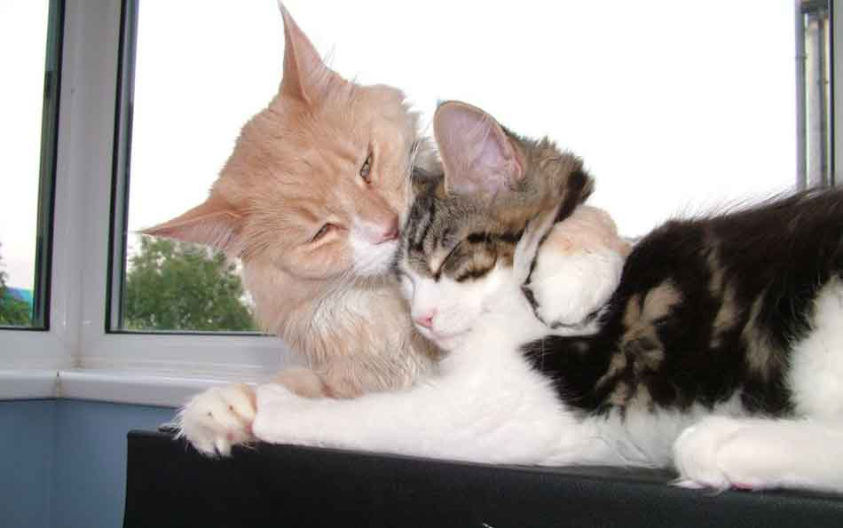 a maine coon washing another cat