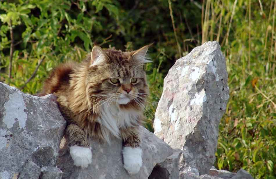 a maine coon lying down on a stone