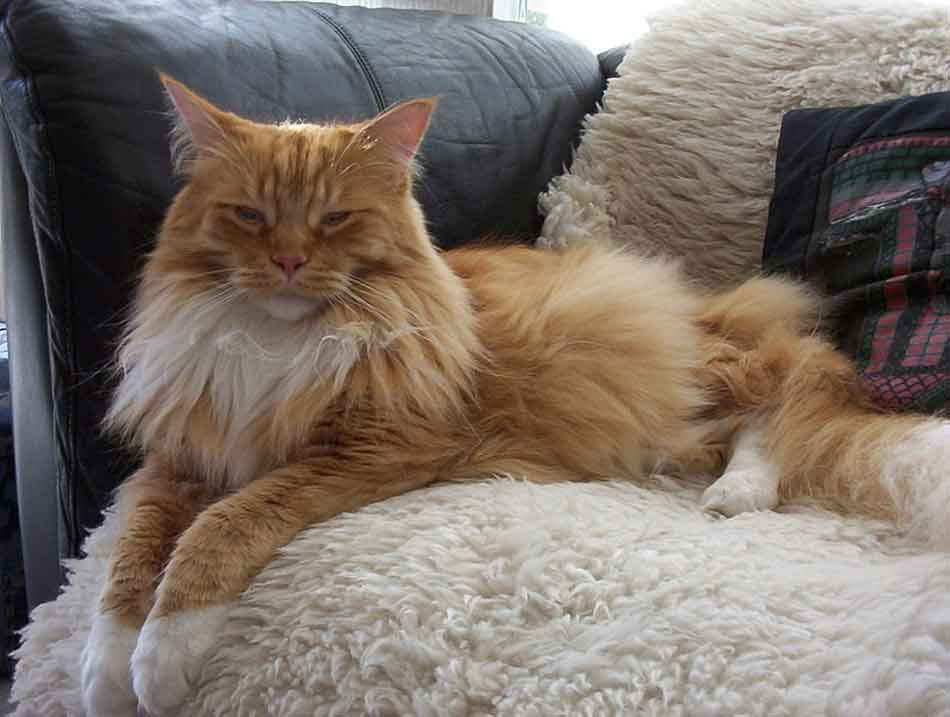 a ginger white smoke maine coon lying down