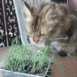 Do Maine Coons Like Cat Grass? (How To Grow It)