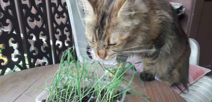 a maine coon tries cat grass