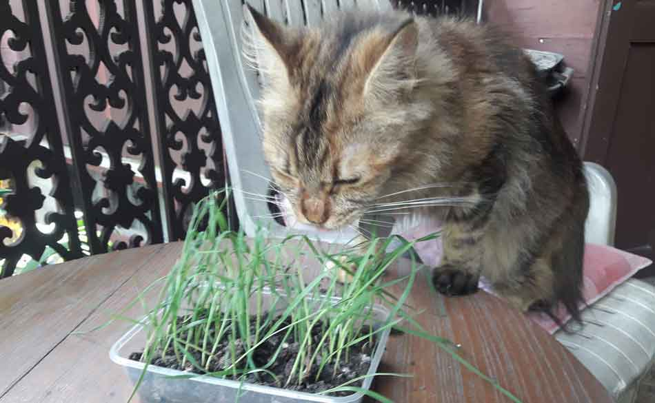 alita the maine coon starting to chew grass