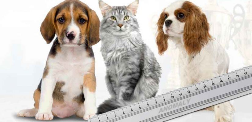 a maine coon compared to dog breeds for size
