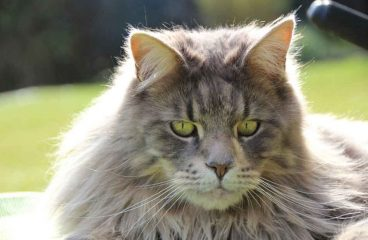 Are Maine Coons Double Coated?