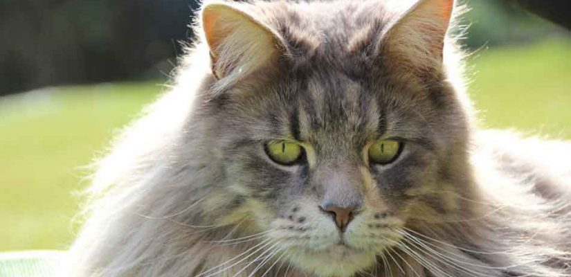 a gray Maine coon looking down