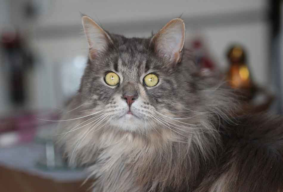 a gray maine coon eyes wide open