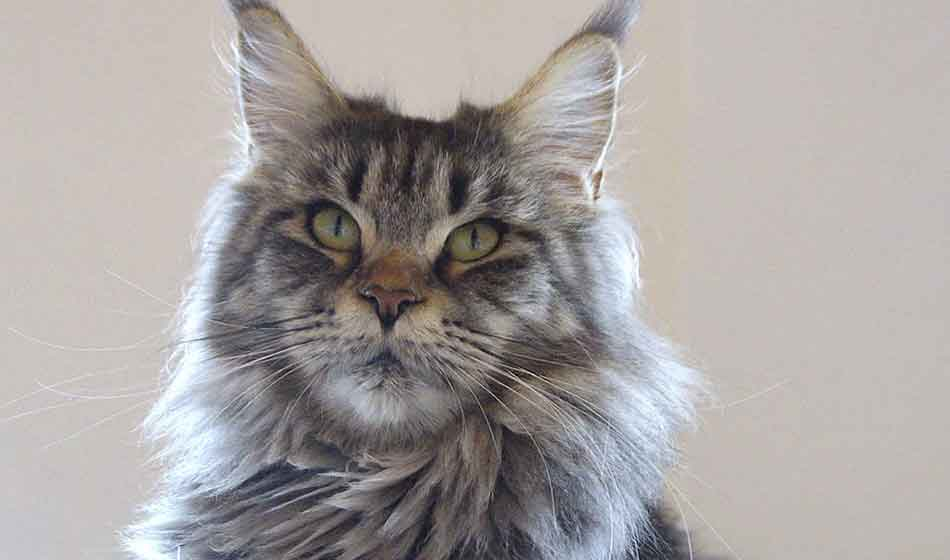a gray maine coon close up