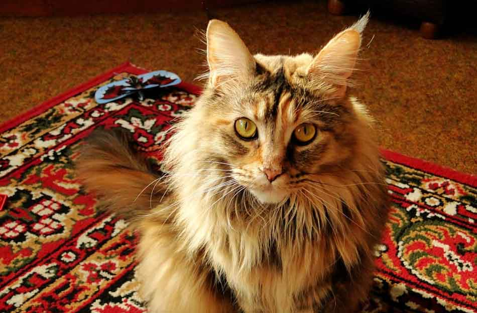 a ginger tabby maine coon