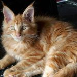 Can Maine Coons Breed With Regular Cats?