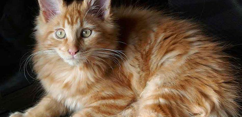 a ginger maine coon kitten