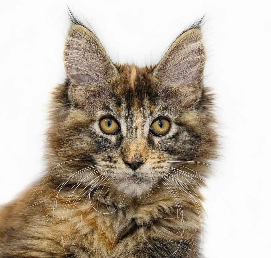 a young tabby maine coon