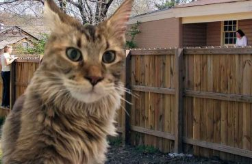Can Maine Coon Cats Jump Fences? (Containing In A Backyard)