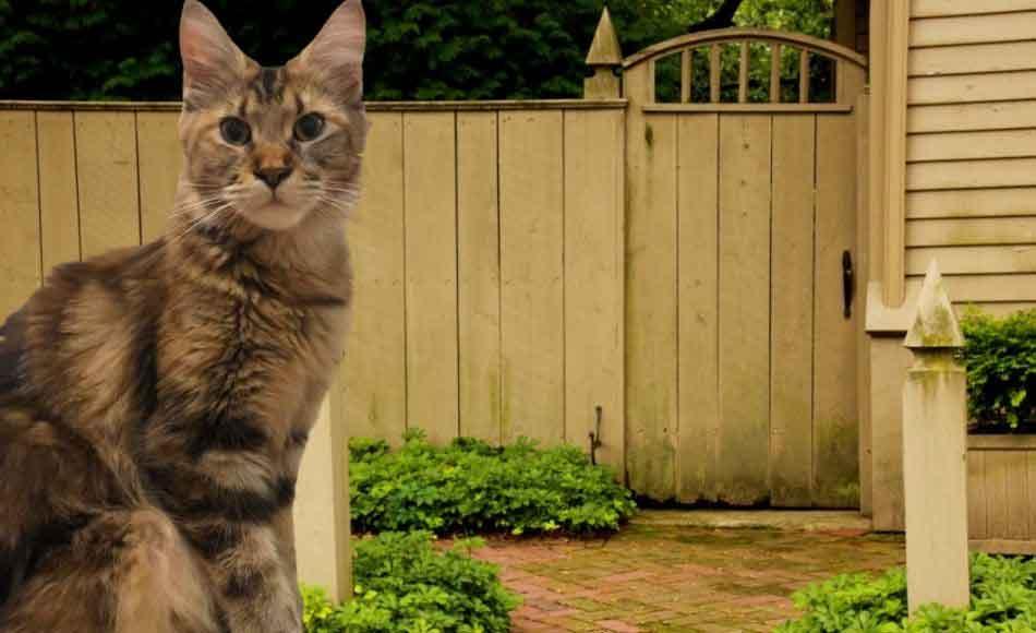a maine coon and a backyard fence