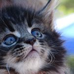 The Maine Coon Kitten Guide - Everything You Need To Know