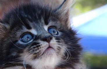 The Maine Coon Kitten Guide – Everything You Need To Know