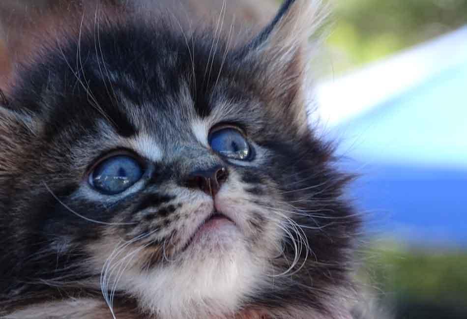 a blue eyes maine coon kitten