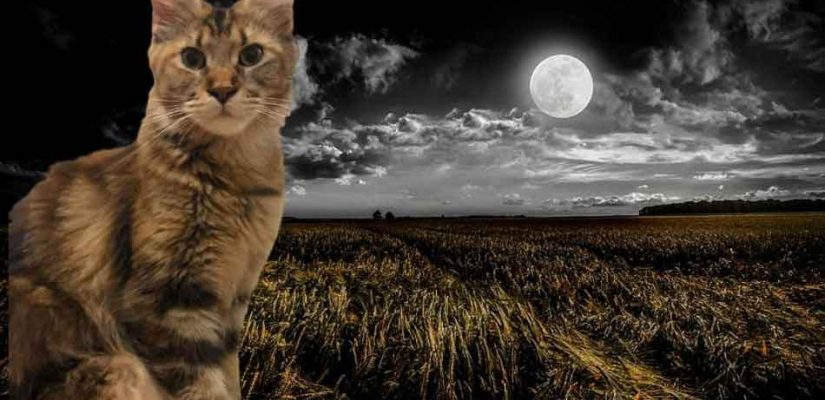 a maine coon in a nighttime rural field