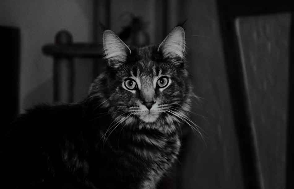 A maine coon during the night