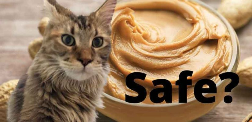 is peanut butter safe for a maine coon