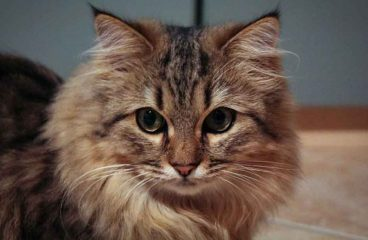 The Maine Coon Persian Mix (What You Need To Know)