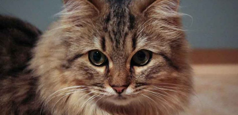 a dark tabby Maine Coon Persian mix