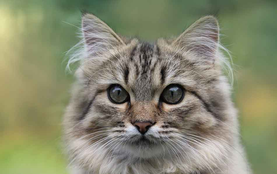 a light tabby Maine Coon Persian mix