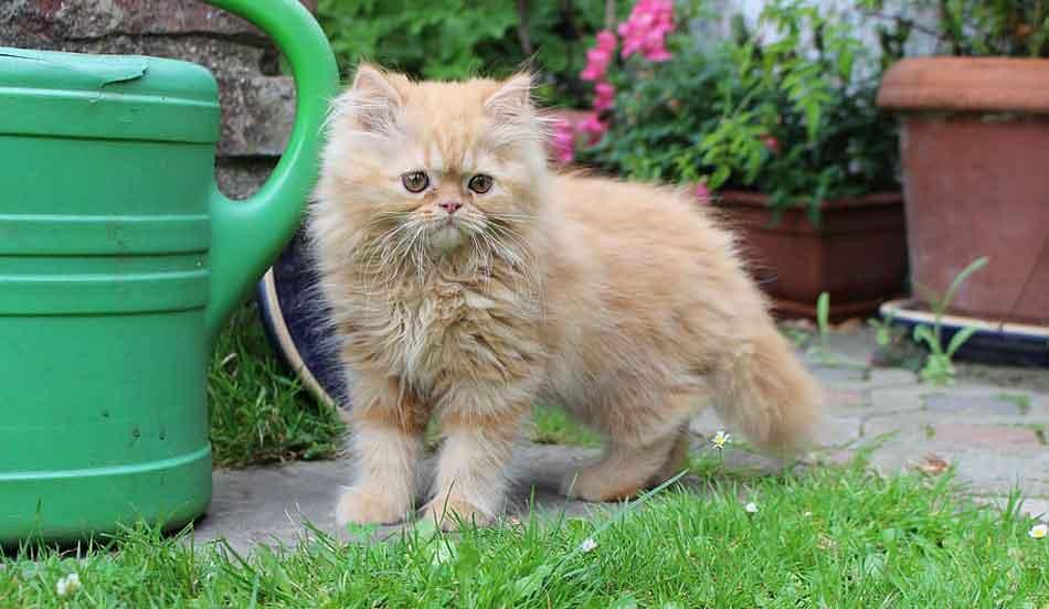 a ginger Maine Coon Persian mix kitten