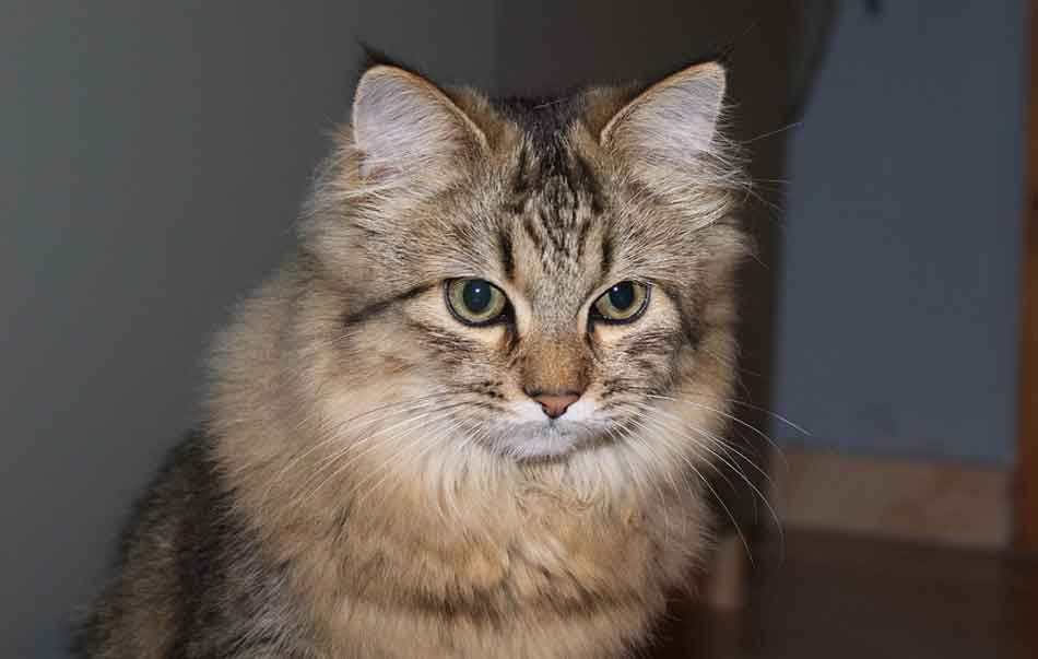 a light brown Maine Coon Persian mix