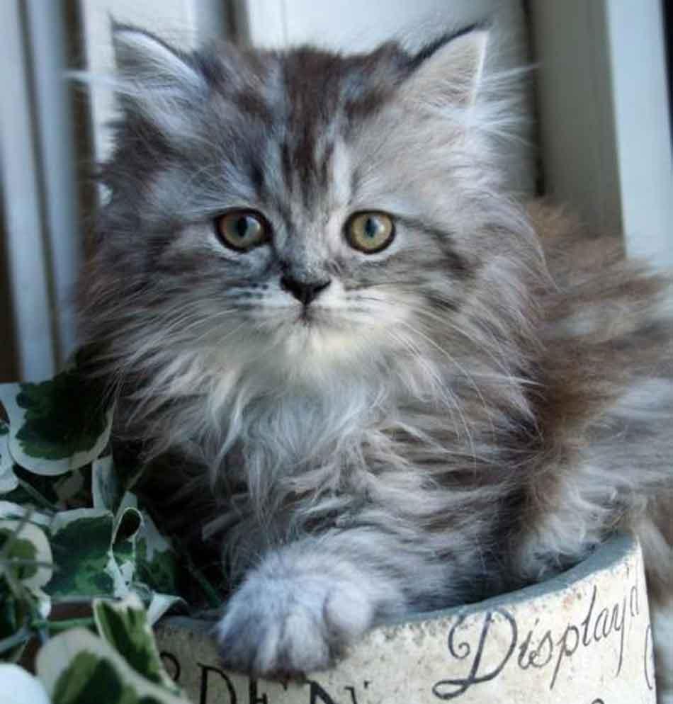a gray Maine Coon Persian mix kitten
