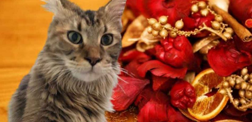 Maine Coon with potpourri