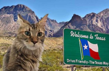 Maine Coon Rescue In Texas (What, Where, How)