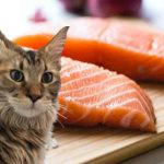 Can Maine Coon Cats Eat Salmon? (Raw Or Cooked)