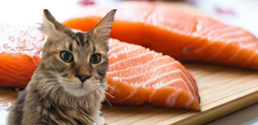 a maine coon with a salmon steak