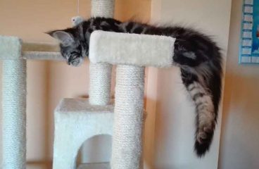 Do Maine Coon Cats Scratch Furniture