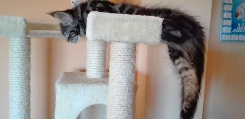 a maine coon on a cat tree