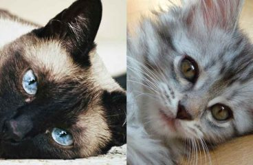 The Maine Coon Siamese Mix (What You Need To Know)
