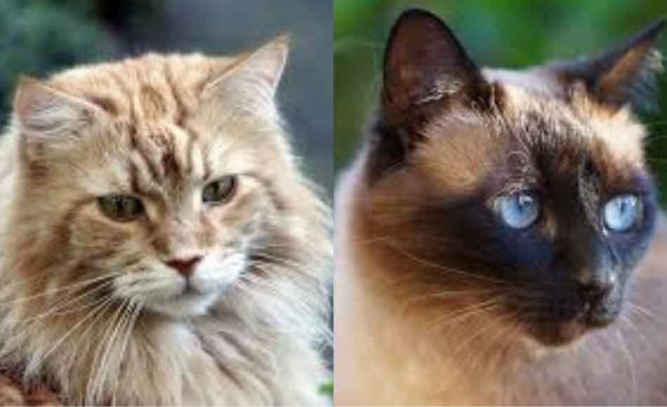 2 pictures - maine coon and siamese