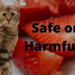 Do Maine Coons Like Strawberries (Are They Harmful)?