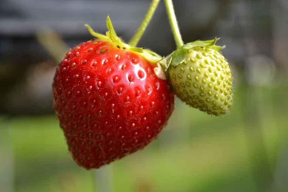 a dangling strawberry
