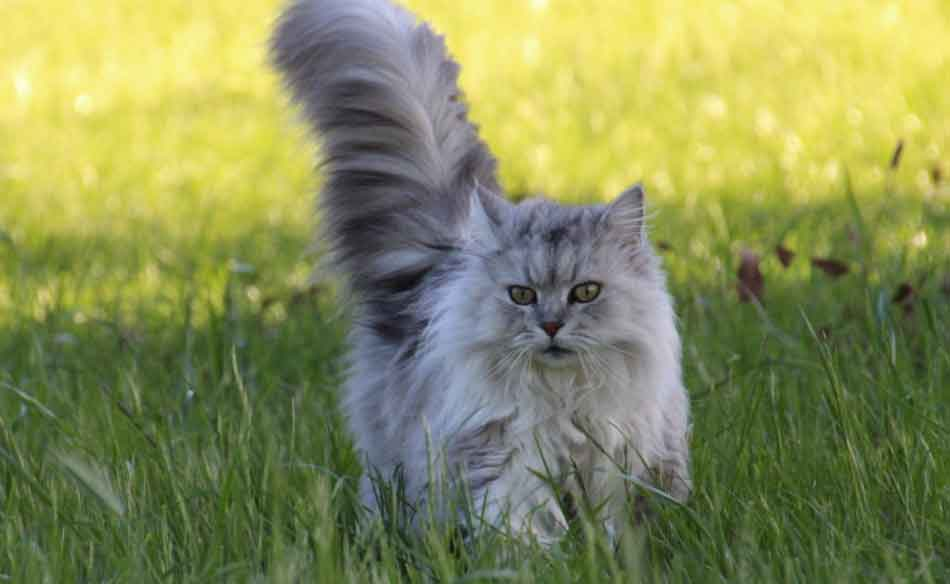 a gray white maine coon displaying a bushy tail in grass
