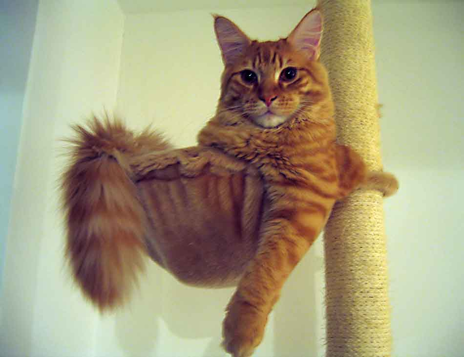a ginger maine coon displaying a bushy tail in a cat bed