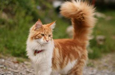 The Maine Coon Tail – A Mind Of Its Own