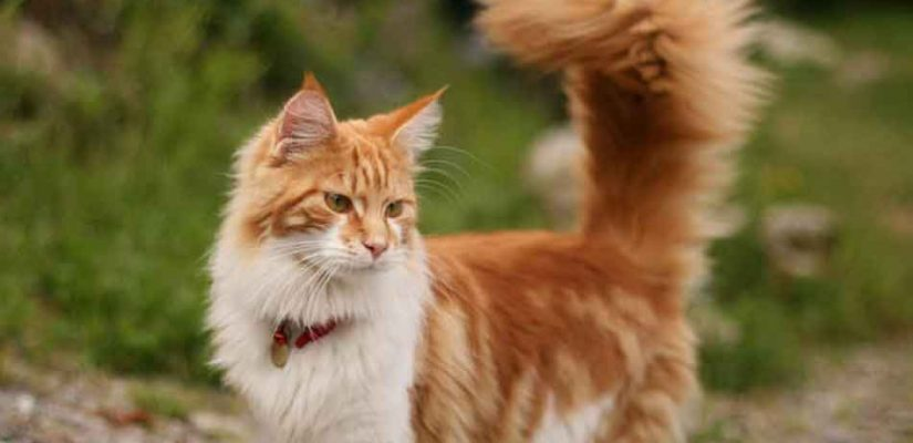a ginger maine coon displaying a bushy tail