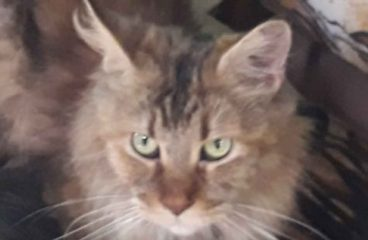 What Is The Temperament Of A Maine Coon?