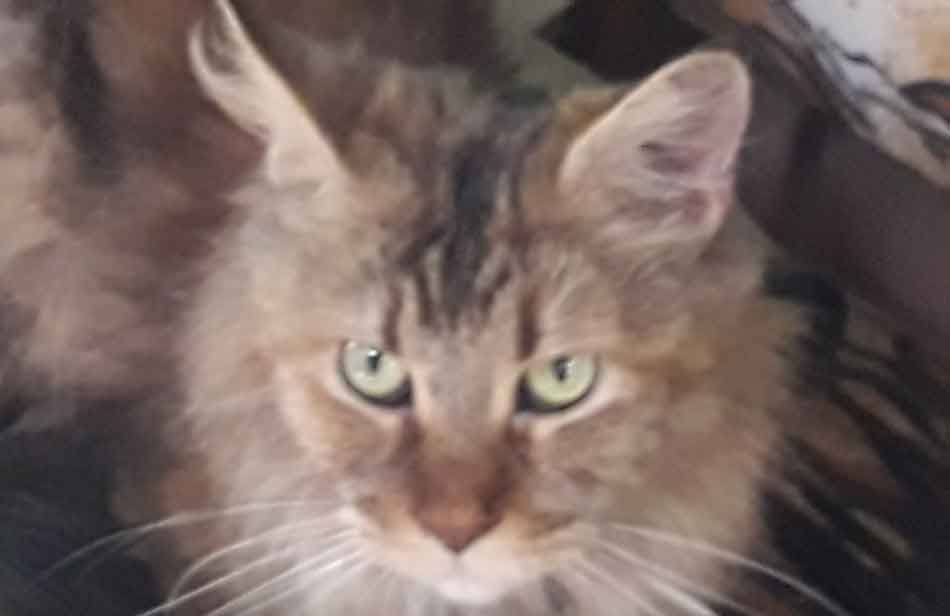 Alita the Maine Coon face close up