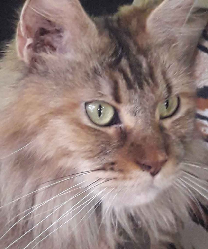 face of Alita the Maine Coon
