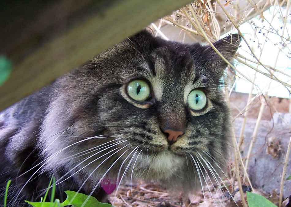 a maine coon outdoors with wide eyes